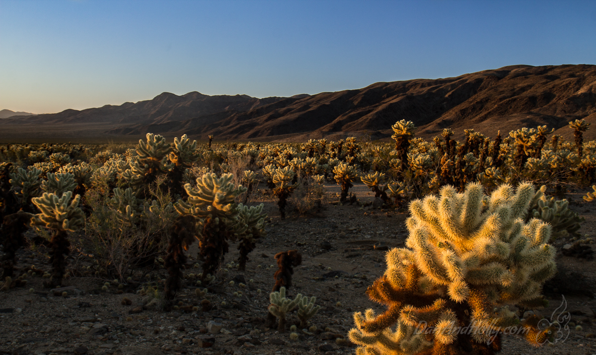 Cholla Cactus Garden at Sunrise