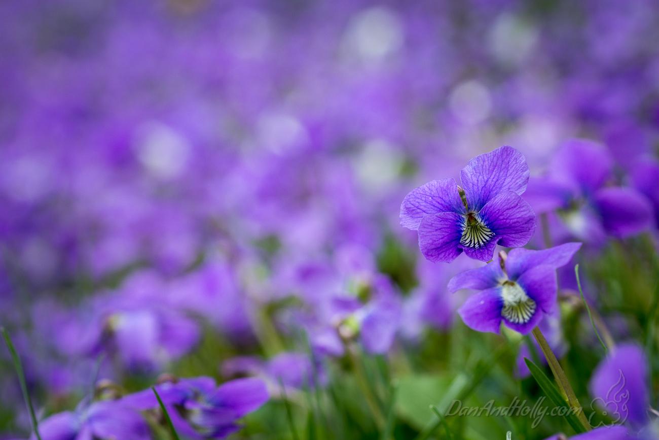 A Carpet of Purple